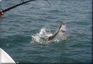 Tarpon Fishing  Galveston Texas Gulf of Mexico